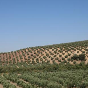 Spānija. Olīvkoki līdz apvārsnim